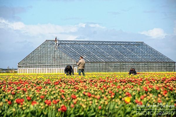 Dutch bulb growers near Keukenhof