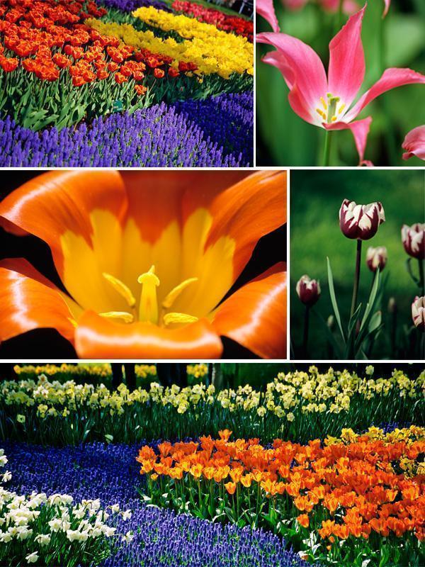 Keukenhof tulip Gardens in 2005