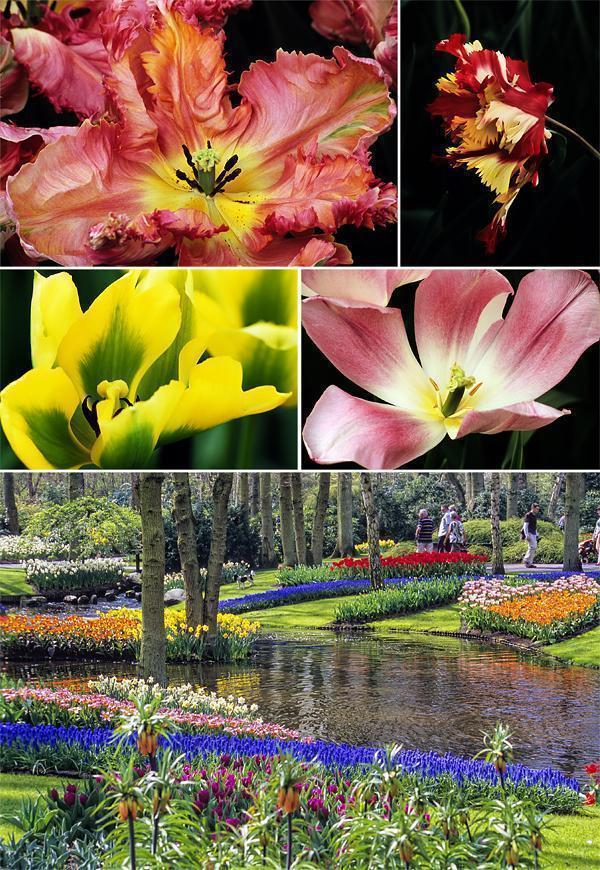 Keukenhof tulip Gardens in 2007