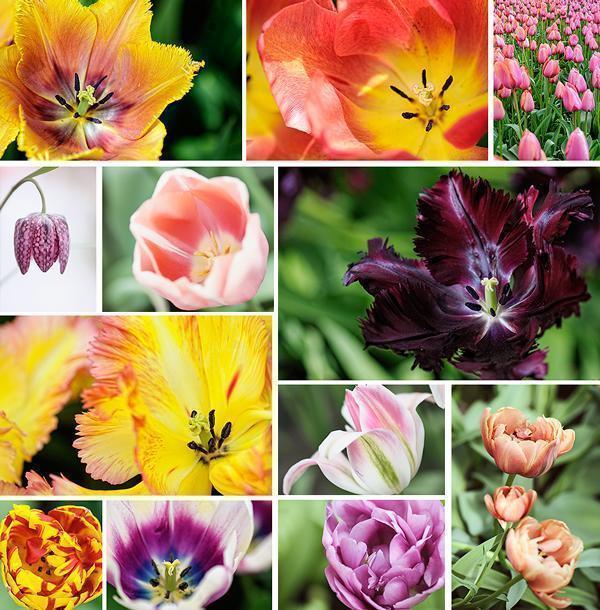 Keukenhof tulip Gardens in 2014