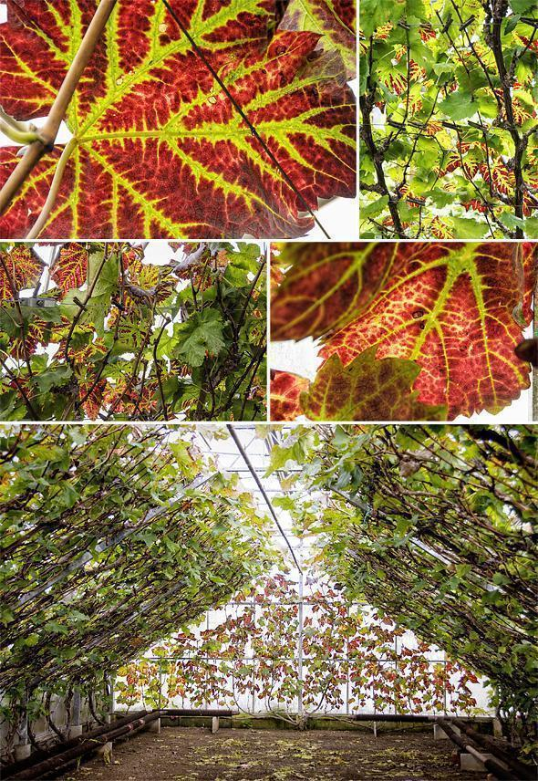 Erik's grape vines in their autumn colours