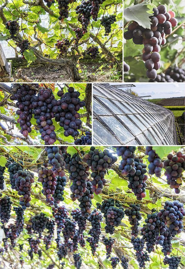 Beautiful Belgian grapes - some of the last in Hoeilaart