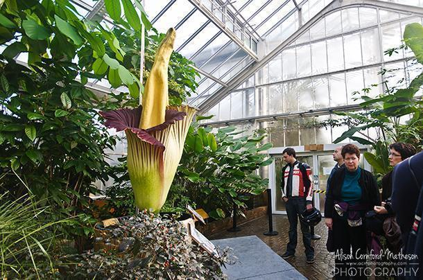 I have plenty of photos of the Titan Arum on its own, but you can only see how huge it is in relation to the people standing beside it.