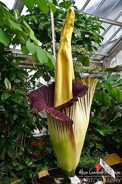The titan arum is impressive - and smelly