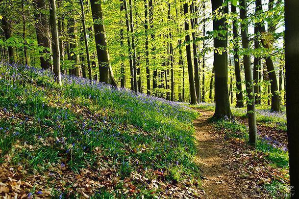 Hallerbos - Belgium's Blue Forest