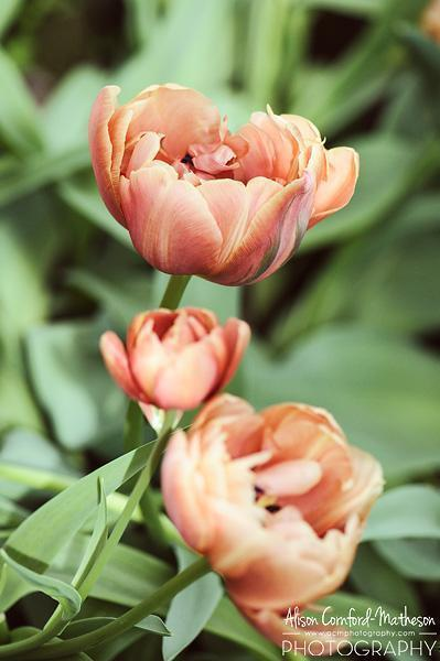 The queen of the spring garden is the tulip
