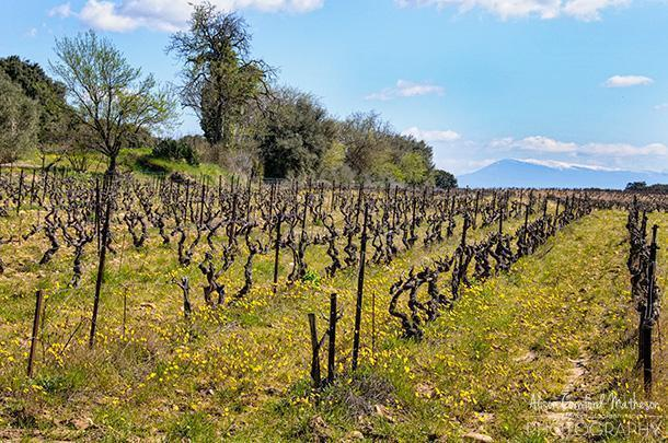 The organic vines of Chateau Manissy with Mont Ventoux in the background