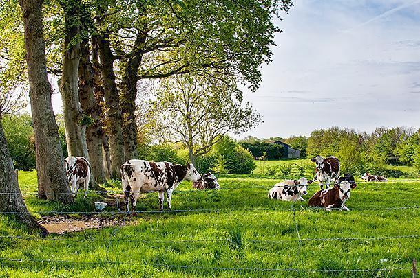 Why is the cheese in Normandy so good? Happy cows of course!