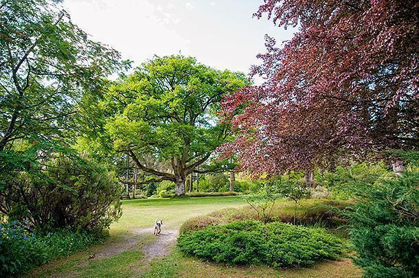 One of the famous fox terriers makes his way to the ancient Oak at the heart of the arboretum.