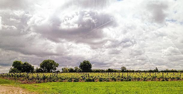 Great Cognac begins in the vinyard