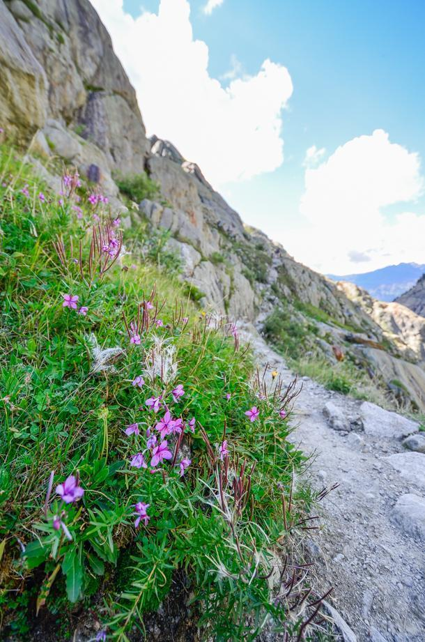 Alpine flora makes hiking the trail a colourful experience