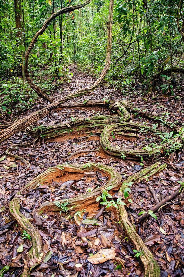 Vines or roots? Either way, you feel like Tarzan in this primeval forest