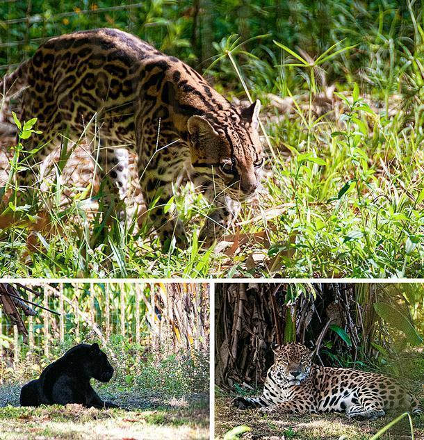 The zoo also houses French Guiana's Big Cats:
