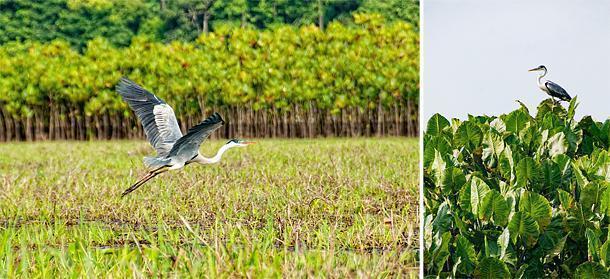 Herons are a common sight in the Marais de Kaw