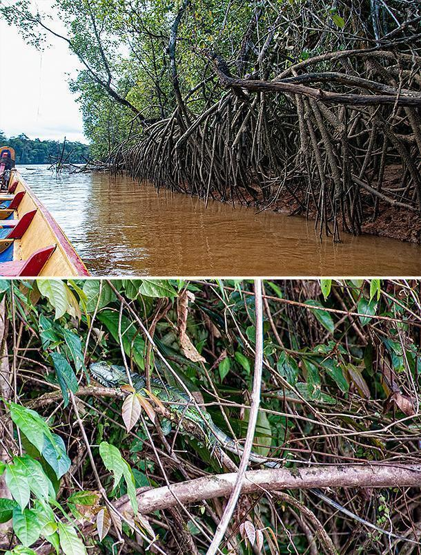 The mangroves are a haven for wildlife on French Guiana's waterways.