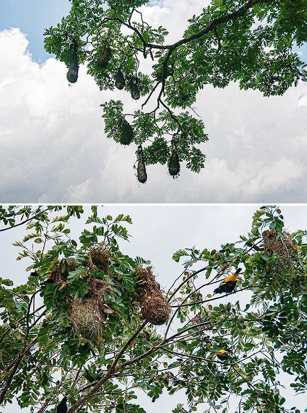 Yellow-rumped caciques make clog-shaped nests