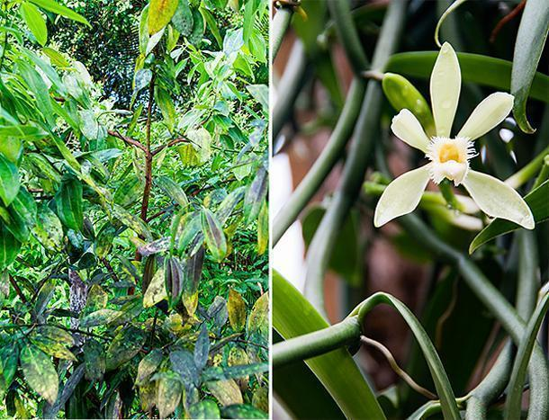 Cinnamon and vanilla are just a few of the edible plants on display at the garden.