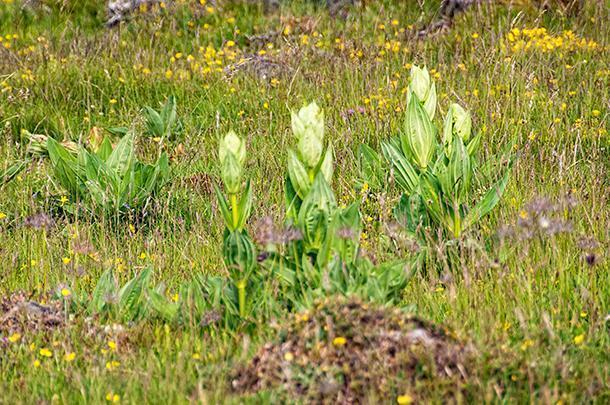 The giant gentian plants dot the landscape and are known to have medicinal properties.