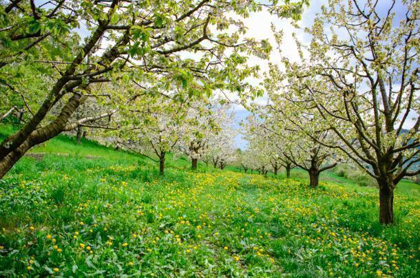 Don't miss the cherry blossoms in Kohlberg, Germnay