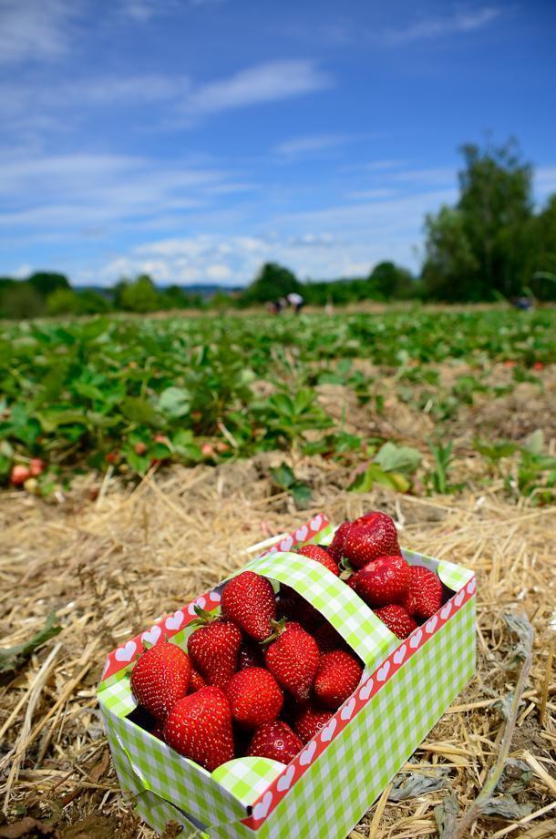 Strawberry picking near Lake Konstanz