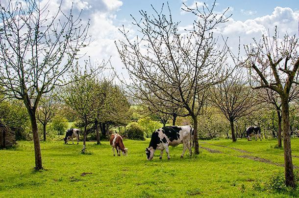 Cows and apple trees were a staple of our farm stays in Northern France