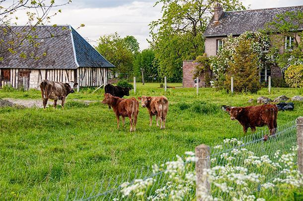 Ferme Vautier, Heurteauville, Normandy, came complete with baby cows!