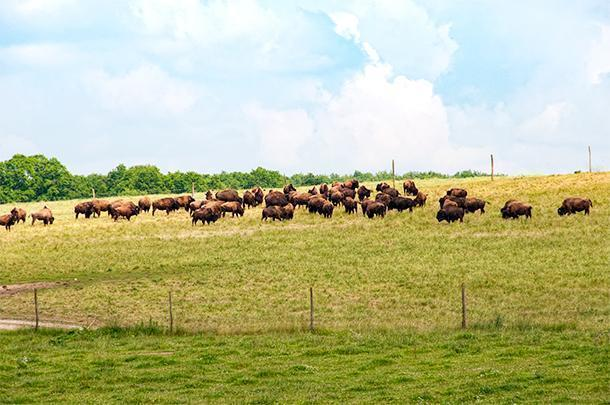 Bisons de Poitou, an unusual sight in rural France