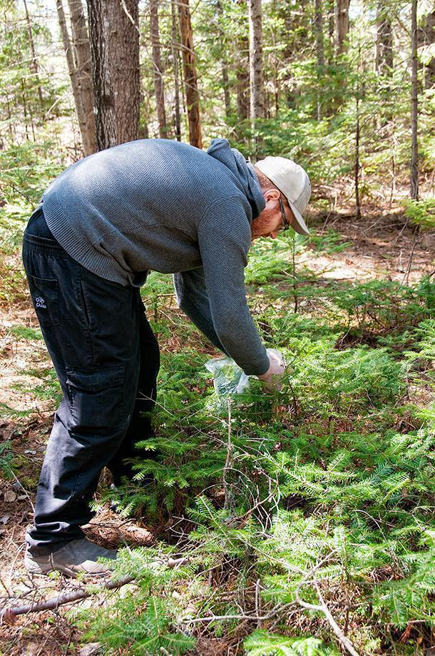 Chef Matt gathers young spruce to use in our dishes