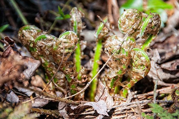 NB Fiddleheads have v-shaped rather than round stems like those shown here
