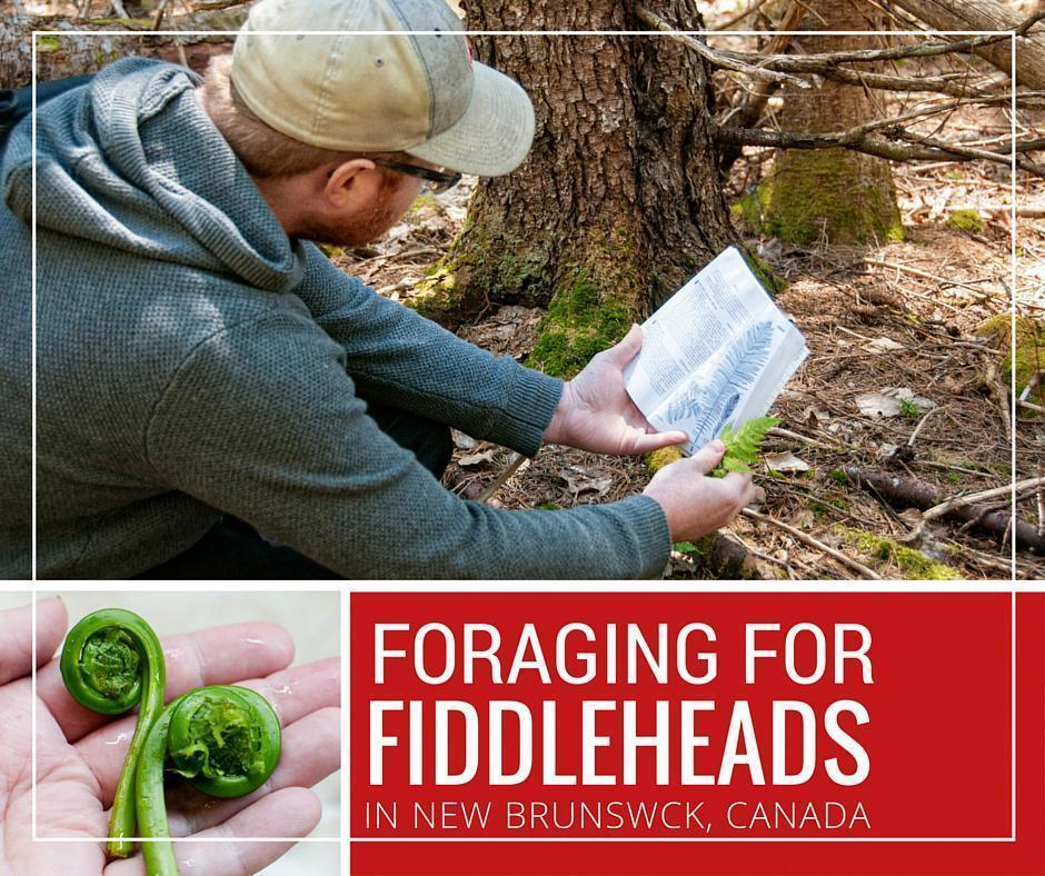 Foraging for fiddleheads and wild food in New Brunswick, Canada