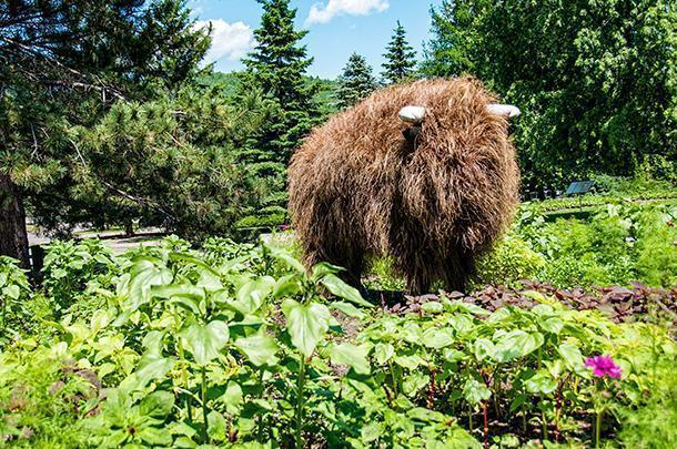 This buffalo may look hairy, but he's entirely plant-based.