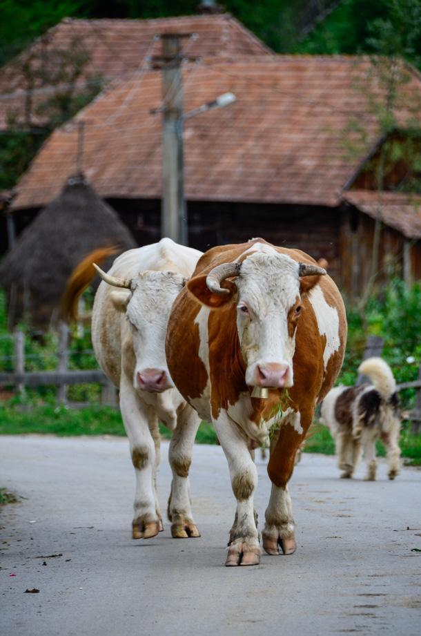 Party until the cows come home in Transylvania!