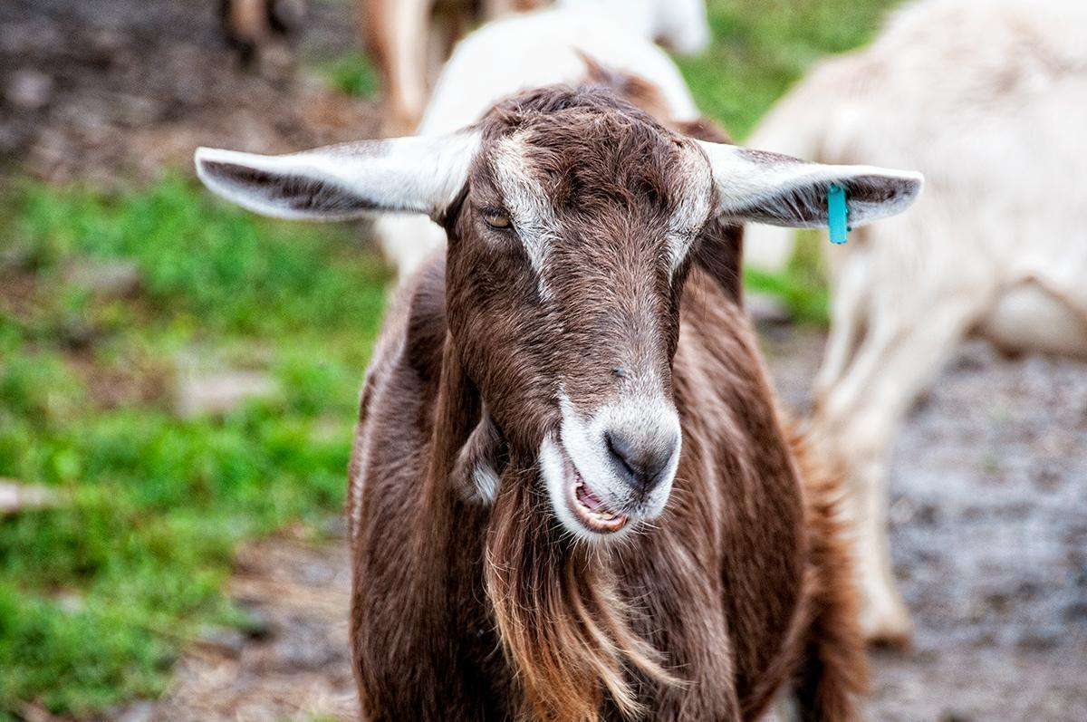 This goat has a rockin' goat-tee!