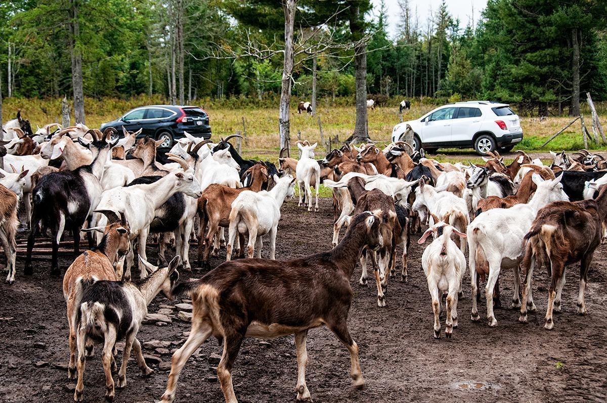 There are more than 200 free-range goats of 5 breeds at Fromagerie Au Fond du Bois, in Rexton, NB