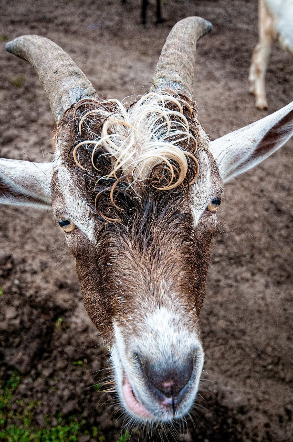 We love this goat's curly locks...