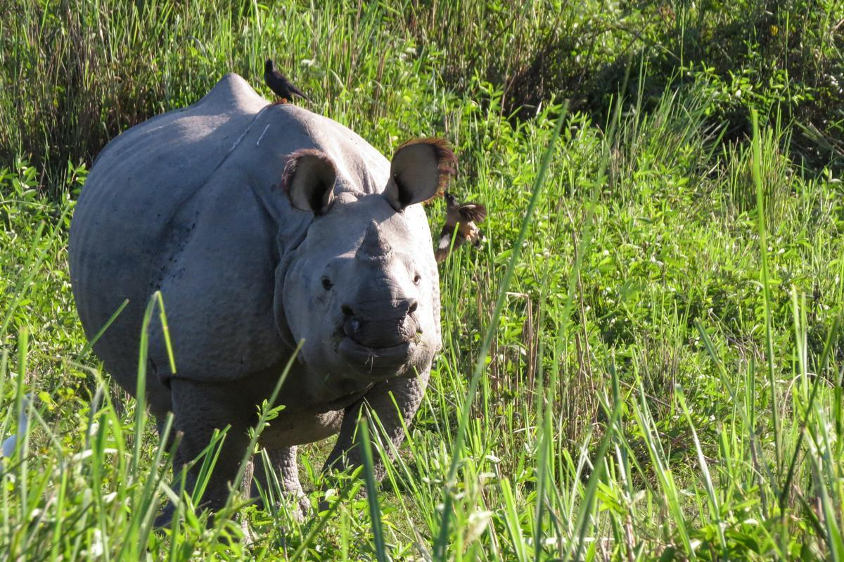 Kaziranga National Park is home to the highly endangered Indian rhino
