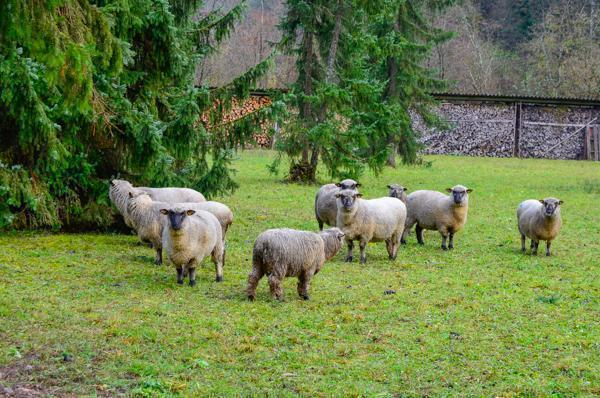 Sheep as the ultimate eco-friendly lawn mowers!