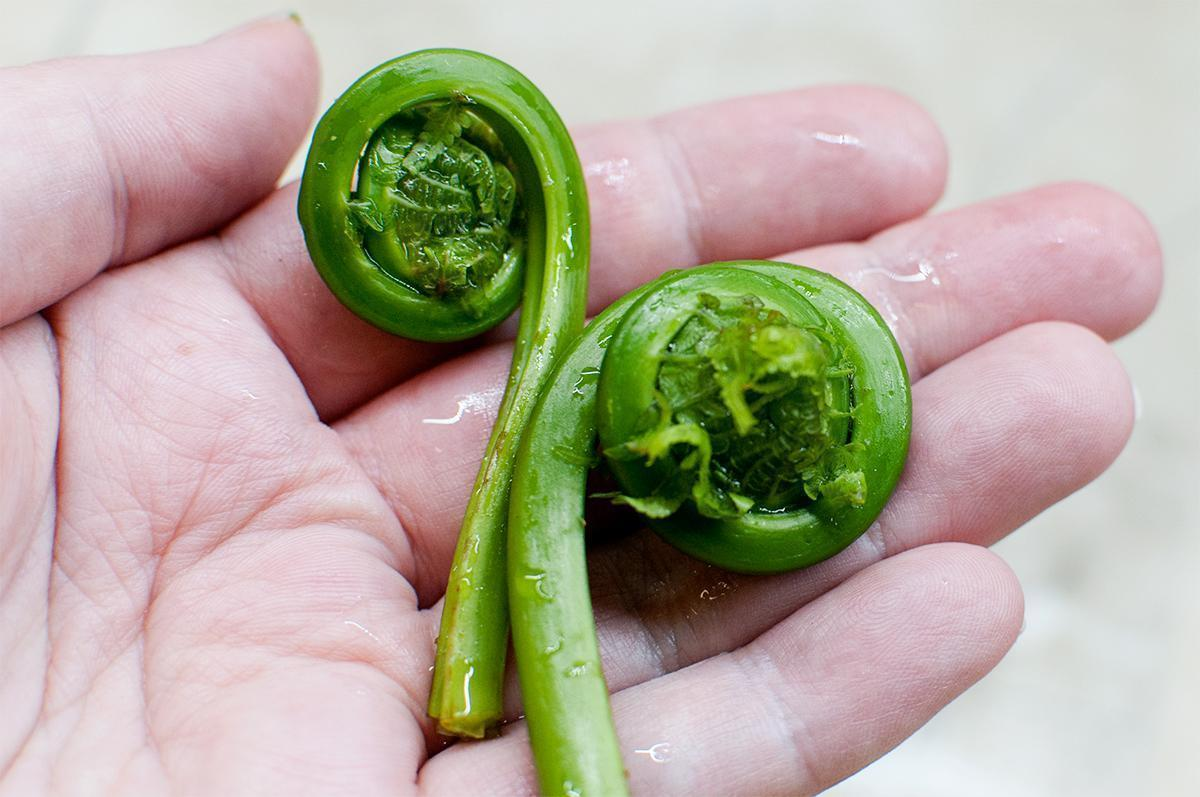 Freshly picked fiddleheads, a (tasty) symbol of New Brunswick, Canada
