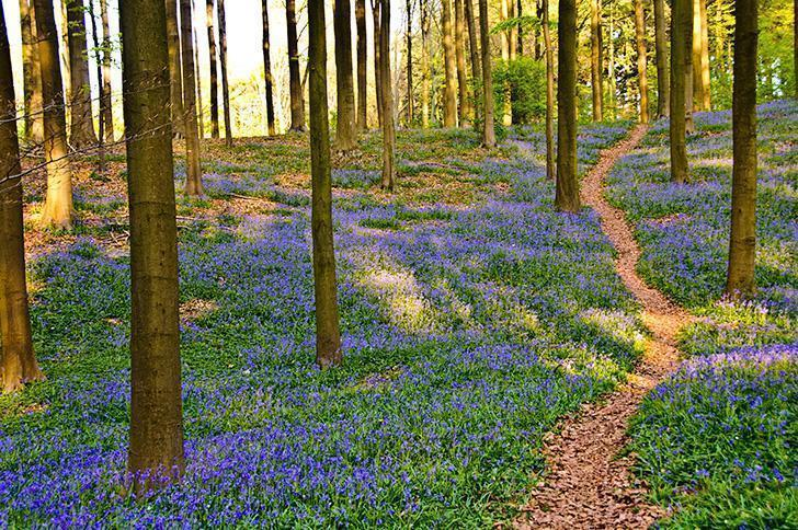 The Blue Forest, Hallerbos, is an unforgettable natural occurrence.