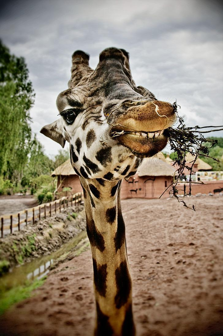 Getting up close and personal with a giraffe at Pairi Daiza Zoo and Botanical Park