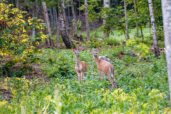Two curious deer on the Maple Sugar Trail at Mactaquac Park