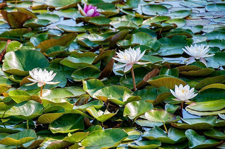 Lilies blooming in the pond at Kingsbrae Gardens, St. Andrews, NB