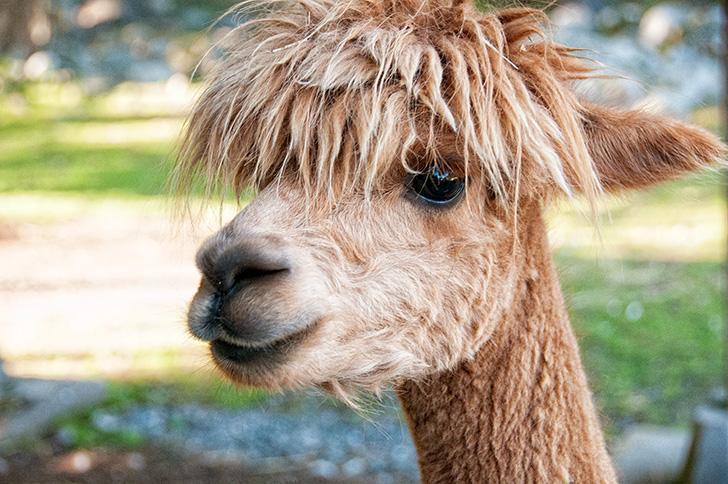#HairGoals, a friendly alpaca at Kingsbrae Garden, St. Andrews