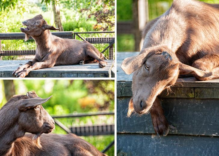 Moe the goat may be a bit confused about his identity but he serenaded us just the same.