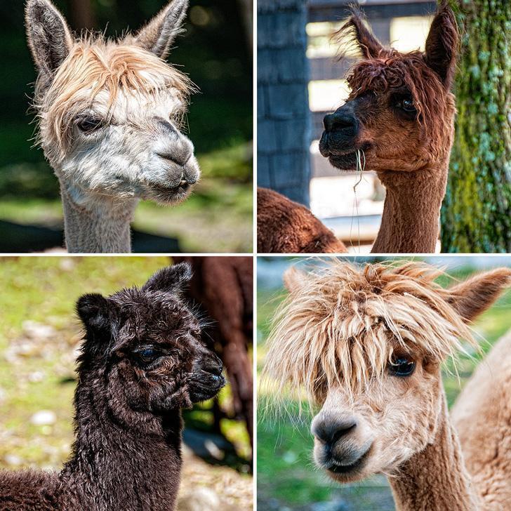 The curious alpacas of Kingsbrae Gardens, St. Andrews, New Brunswick