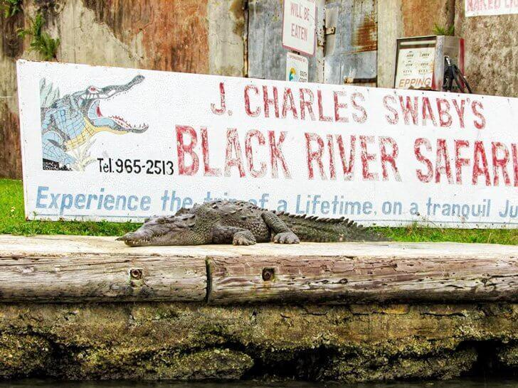 Take a safari on Jamaica's Black River to see crocodiles
