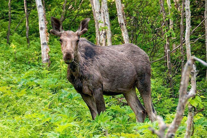 Moose in Gaspesie National Park, Gaspe Quebec, Canada