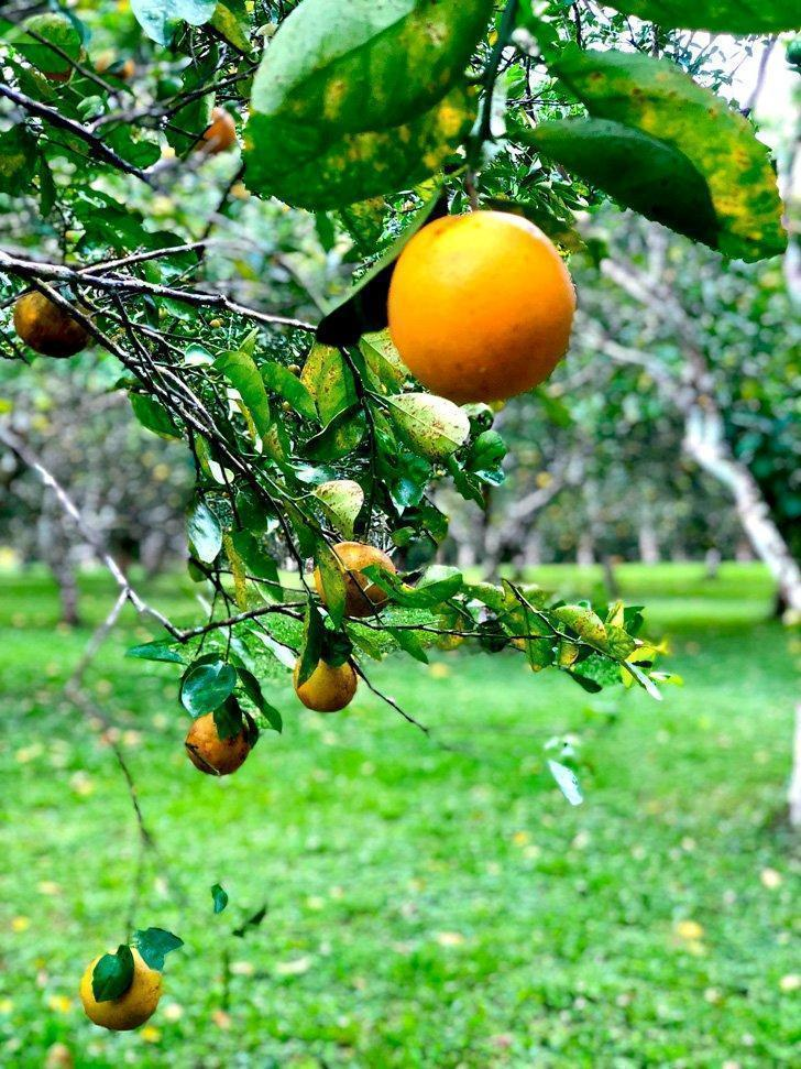 If you pick it, you eat it at the Table Rock Lodge orange grove.