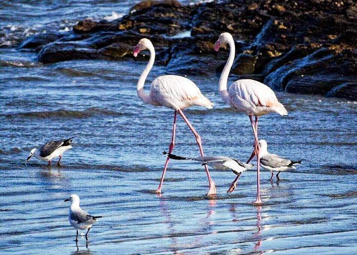 Watch for pink flamingos on the Luderitz Peninsula in Namibia