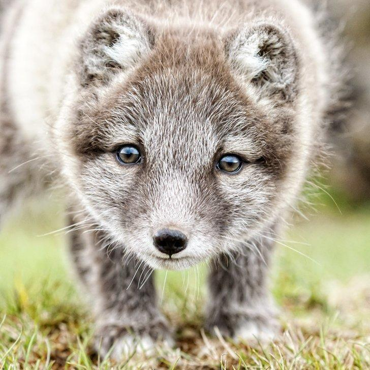 This arctic fox cub doesn't yet have his winter white fur coat in Spitsbergen, Norway.
